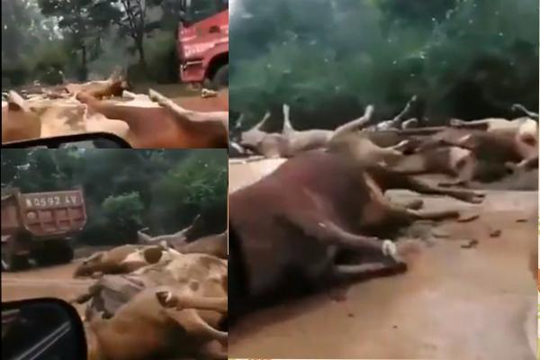 近日,山東省魯南地區臨沂市遭暴雨襲擊,洪水湍急很多牧場的豬牛羊都被洪水捲走,死傷無數。(網絡截圖)