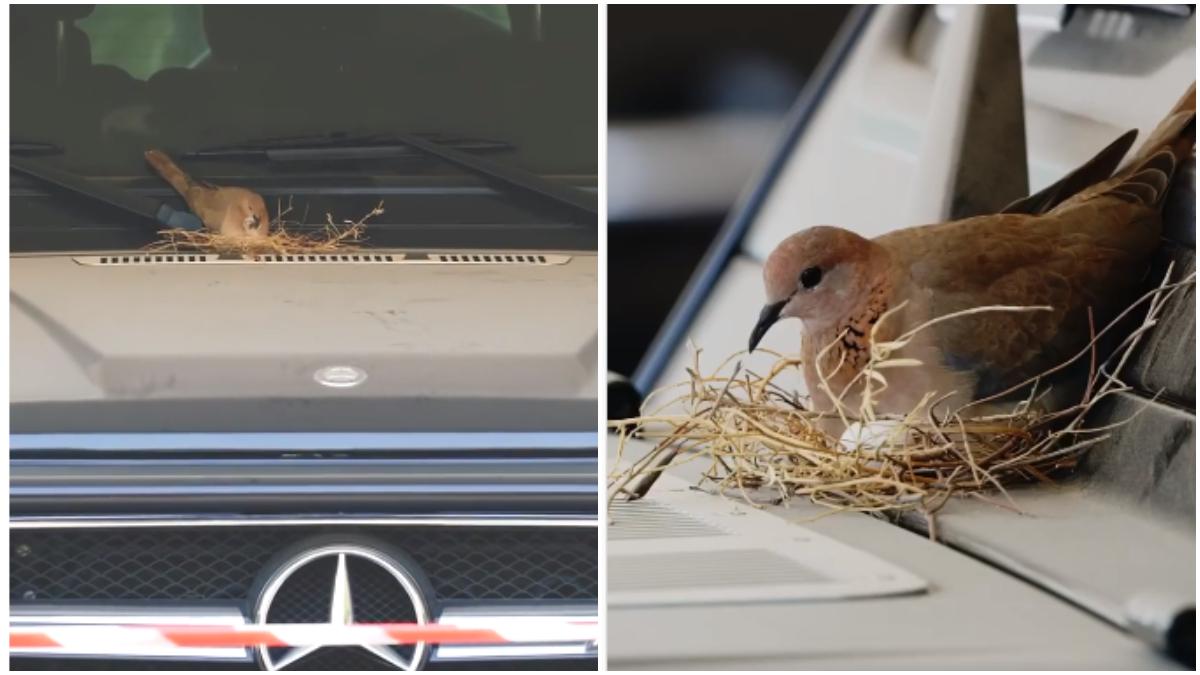 近日,一對灰斑鳩夫婦在杜拜二王子哈曼丹的平治休旅車擋風玻璃前築巢。(影片截圖)