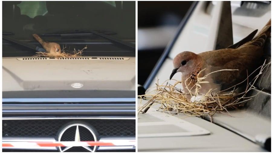 斑鳩夫婦豪車上築巢 杜拜王子一個動作獲熱讚