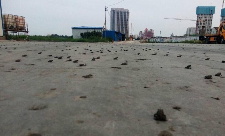 或有災難?天津數百隻蛤蟆湧上街道