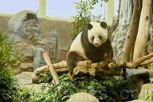 大熊貓盈盈疑有喜 海洋公園推夏日優惠