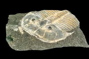 罕見化石發現三葉蟲具複眼結構