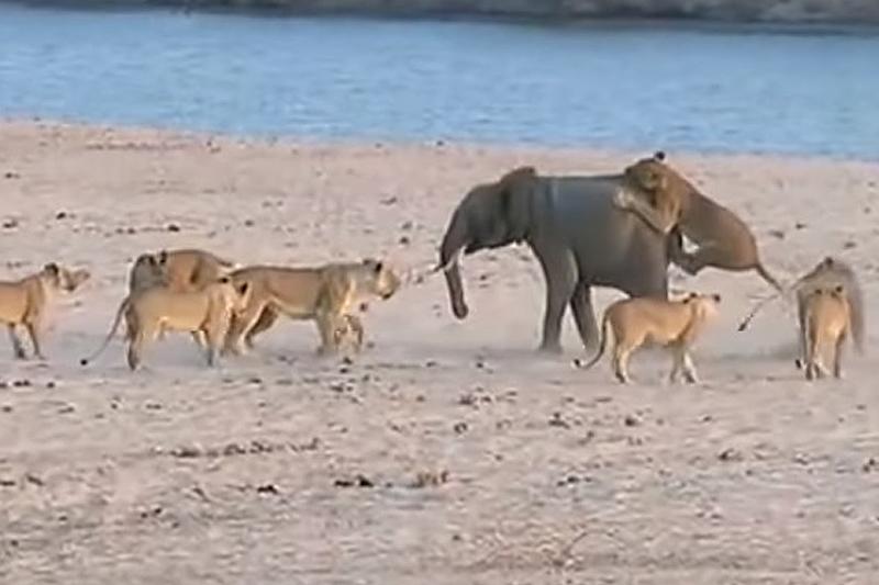 在非洲國家尚比亞的一處野生動物保護區,一頭大象獨自應戰14頭獅子,成功將牠們趕走而且保住一命。(視頻擷圖)