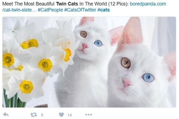 這對雙胞胎貓咪以潔白的外型和兩眼顏色互異在網上吸引數萬名粉絲。(推特網頁擷圖)