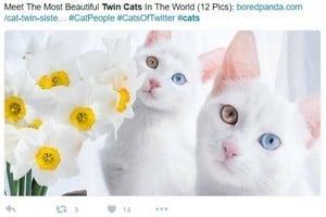 漂亮雙胞胎貓咪 兩眼顏色不一樣