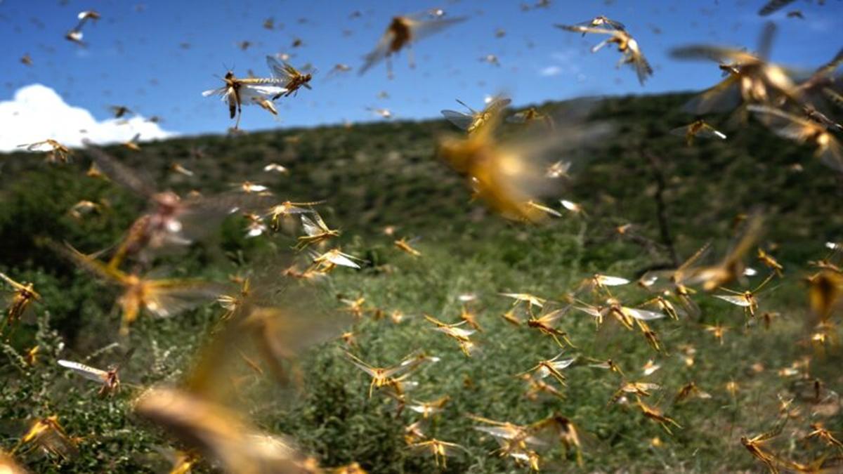 專家警告,嚴重蝗禍可能引發嚴重糧食危機。(Fredrik Lerneryd/Getty Images)