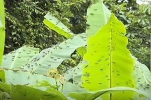 【一線採訪】雲南蝗禍鼠害 農作物損失慘重