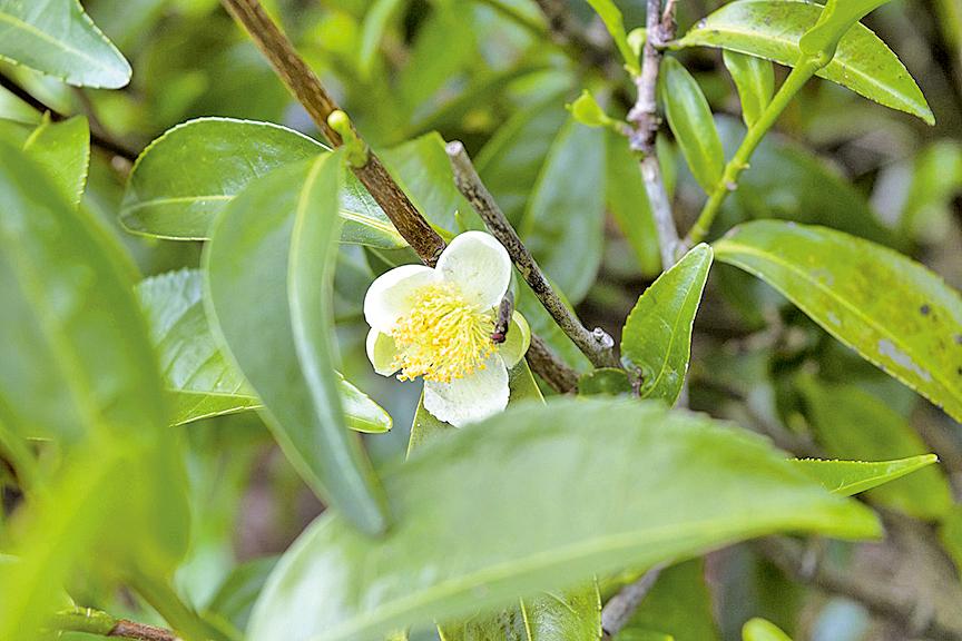 小巧的茶之花。因為茶樹開花會讓葉芽生育緩慢、茶菁產量降低,所以一般茶農都會摘除花蕾,把生命力留給茶葉 (pixabay)