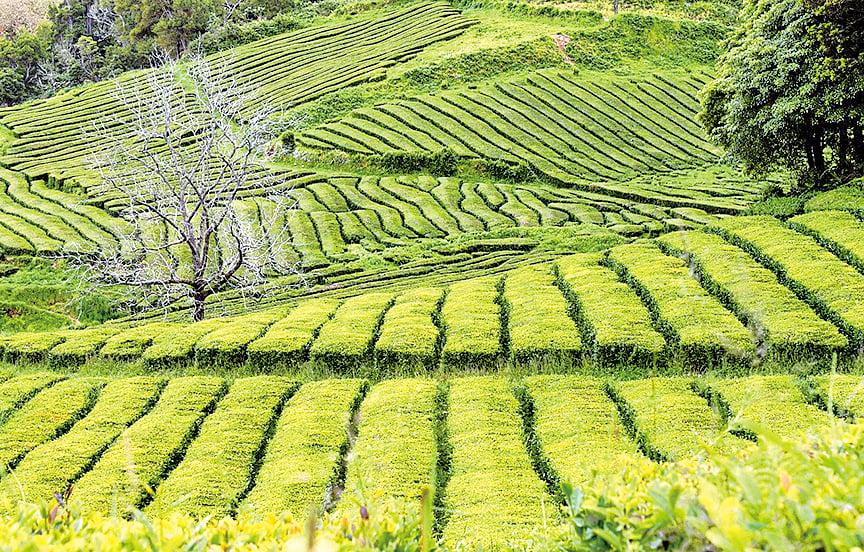 白露節氣啟動秋茶的生命力 (pixabay)