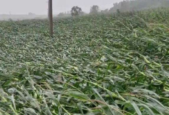 9月3日,颱風「美莎克」襲擊東北,吉林,黑龍江等地。粟米地倒伏一片,像綠色的棉被鋪在地上。(網絡視像截圖)