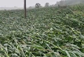 颱風「美莎克」橫掃 東北粟米地倒伏成災