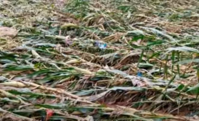 9月5日,瀋陽遭冰雹襲擊,再加上前幾天的颱風暴雨,玉米地倒伏一片。(網絡視頻截圖)