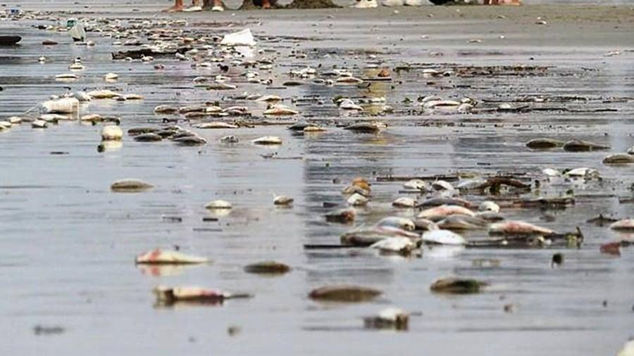 異象!廣西海灘死魚綿延8里 數量還在增加(影片)
