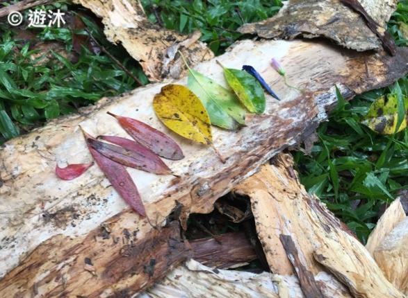 不同顏色的樹葉可以用來玩「大自然收買佬」的遊戲。(受訪者提供)