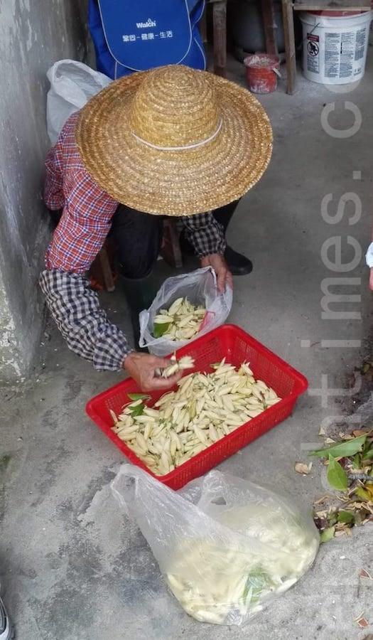 花農在挑選白蘭花。(受訪者提供)