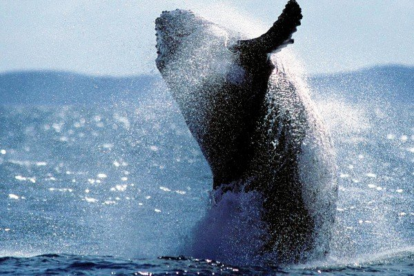 座頭鯨。(DANIEL BAYER/AFP/Getty Images)