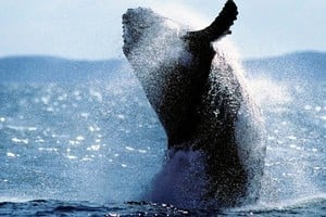 巨大座頭鯨重返紐約長島海域