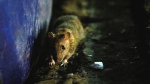 內蒙鼠疫肆虐 雲南3歲童也確診感染