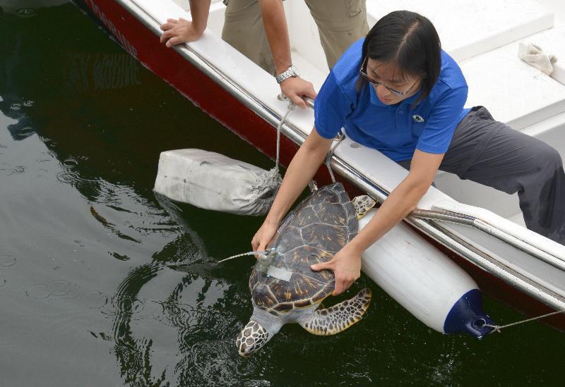 三隻在海洋公園暫住的幼年綠海龜,今天(8月12日)由漁護署在香港東南面水域放流,讓牠們重回大海生活。(政府新聞網)