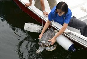 三隻綠海龜重回大海
