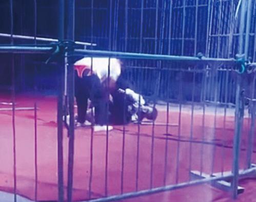 日前在河南濮陽一個馬戲團的公開表演中,一隻黑熊突然失控,將馴獸師撲到地上撕咬不放,現場觀眾被嚇得尖叫連連。(影片截圖)