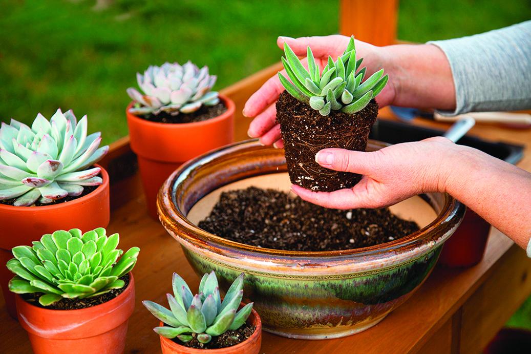 將多肉植物放入陶磁花盆很有設計感,但要注意排水問題。