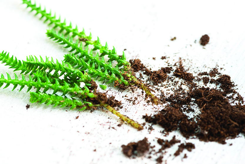 多肉植物剪枝藉著空氣中的濕度,大約15天左右也能生根。