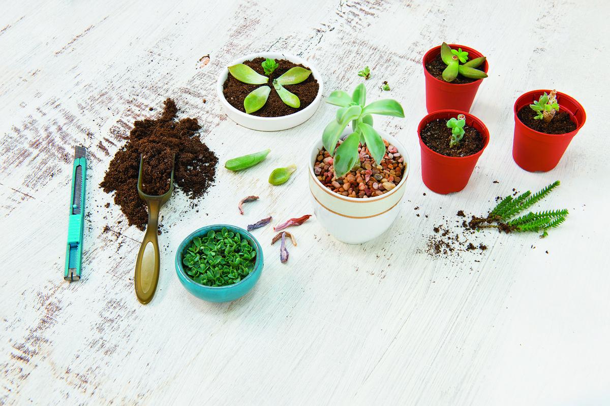 多肉植物的繁殖成功率極高,剪下一枝莖或摘下一片葉就能扦插。