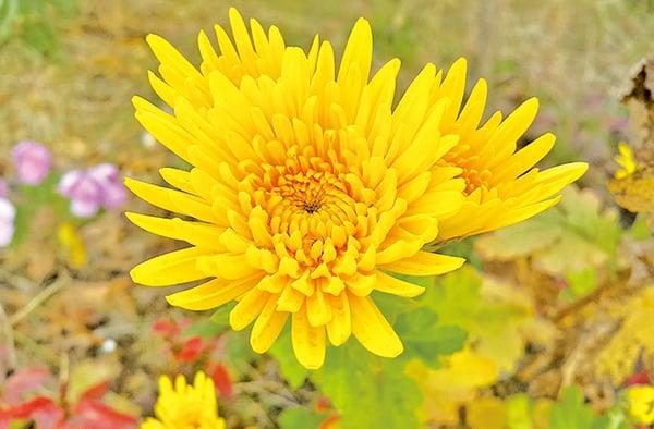 秋菊的金黃色代表坤地正色。(pixabay)