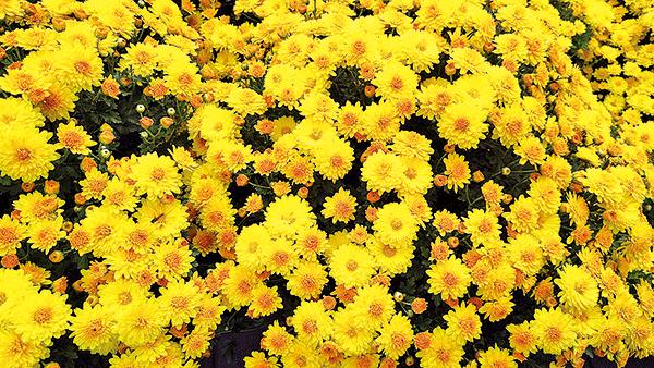 古人給了菊花許多詠歎、許多讚美,菊花是中華文化正色。(pixabay)