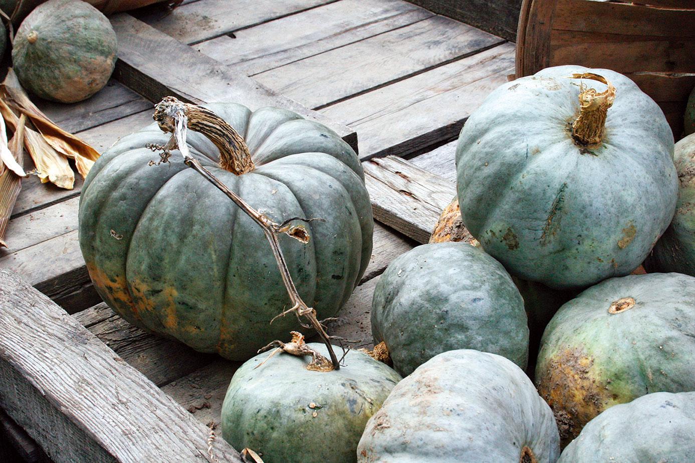 顏色特別的藍南瓜(Blue pumpkin)。