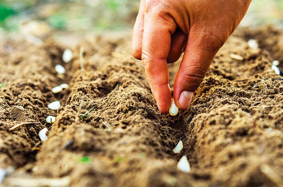 種植南瓜時,要保持南瓜種子間的間距。