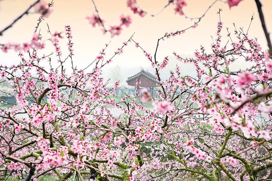 銀釭詩約:桃夭.桃花與新娘