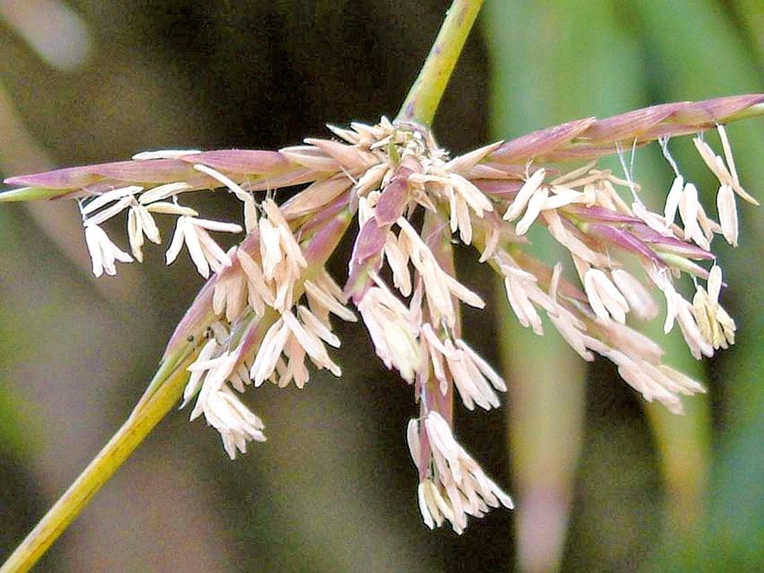 在四川近四十年的歷史上,曾出現了幾次竹子大面積開花,其後均發生了地震的災情。在印度也有48年一周期,「竹樹開花,飢荒必現」的預示災禍徵兆的預言。(莊溪《認識植物》網站/莊溪提供)