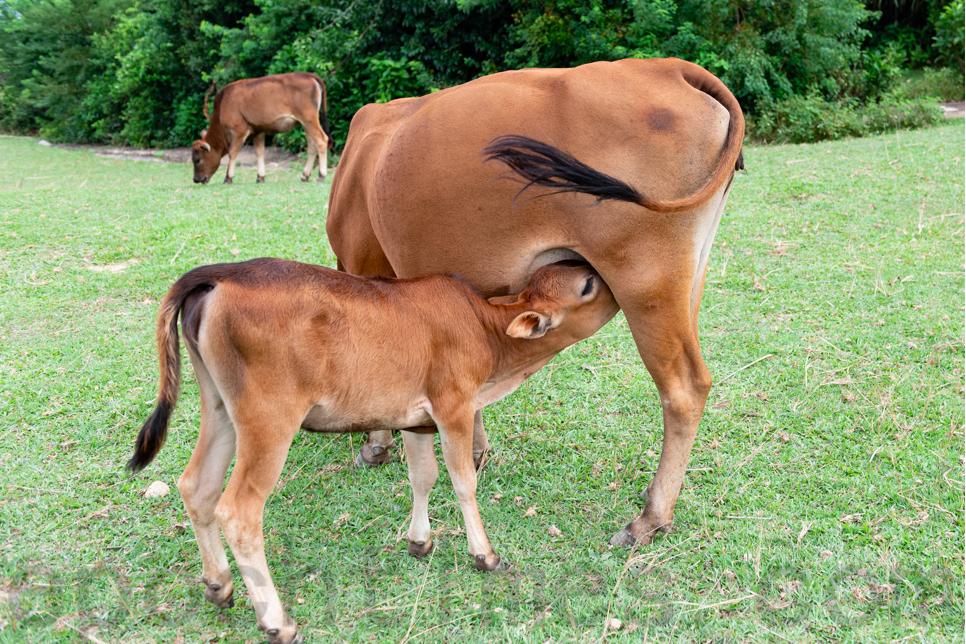 香港離島有很多牛。圖為離島塔門的黃牛,非涉事水牛。(大紀元資料圖片)
