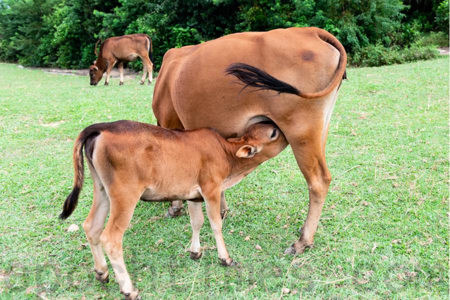 護牛人士:漁護署加緊閹牛 擔心大嶼水牛滅絕