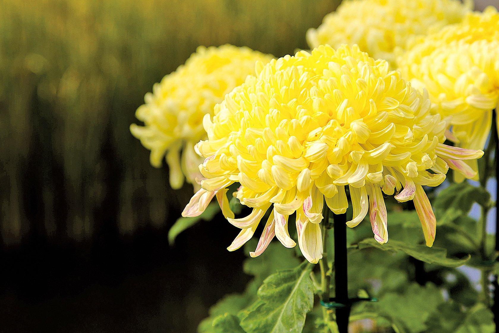 重陽節時,圓圓滿滿的菊花盛開如金鈴。(全景林/大紀元)
