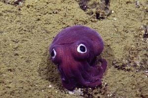 這隻「谷歌眼」深海烏賊是新晉網絡明星