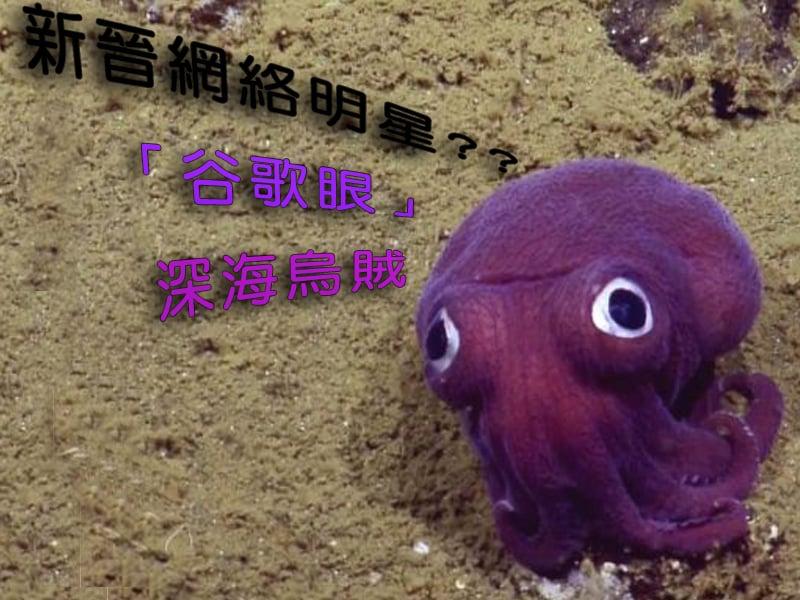 憨態可掬的太平洋僧頭烏賊。(視頻截圖)