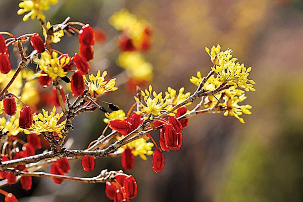 「每逢佳節倍思親」,佳節逢重陽,茱萸讓人思親!圖是山茱萸的秋實果肉。(pixabay)