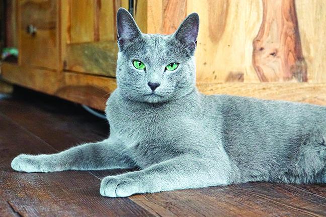 俄羅斯藍貓聰明又敏感,能很快地感受到主人的心情。