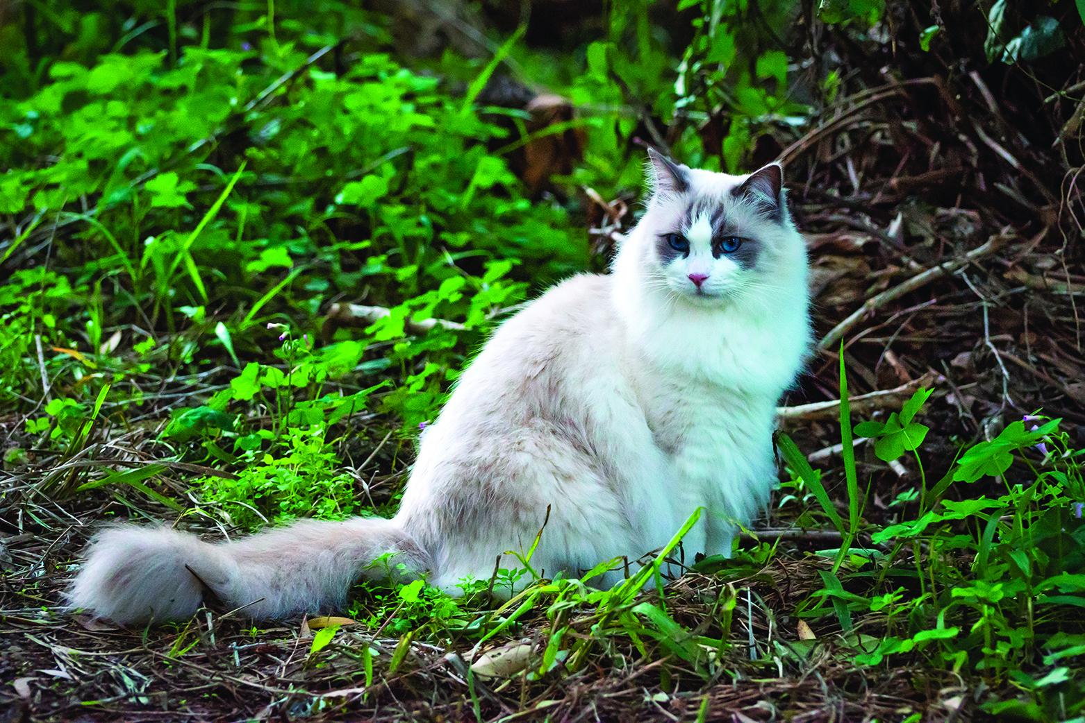 布偶貓優雅悠閒的特質很受喜愛。