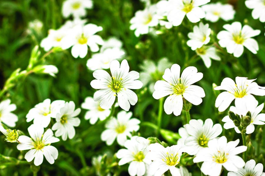 漂亮的銀葉植物  點亮你的花園 (上)