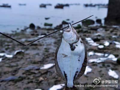 近日,大陸多地持續高溫。重慶局地最高溫超過42℃;四川39.7℃高溫,發佈今年首個高溫橙色預警;青島海水達31℃,養殖魚被熱死。圖為青島魚被熱死。(網絡圖片)
