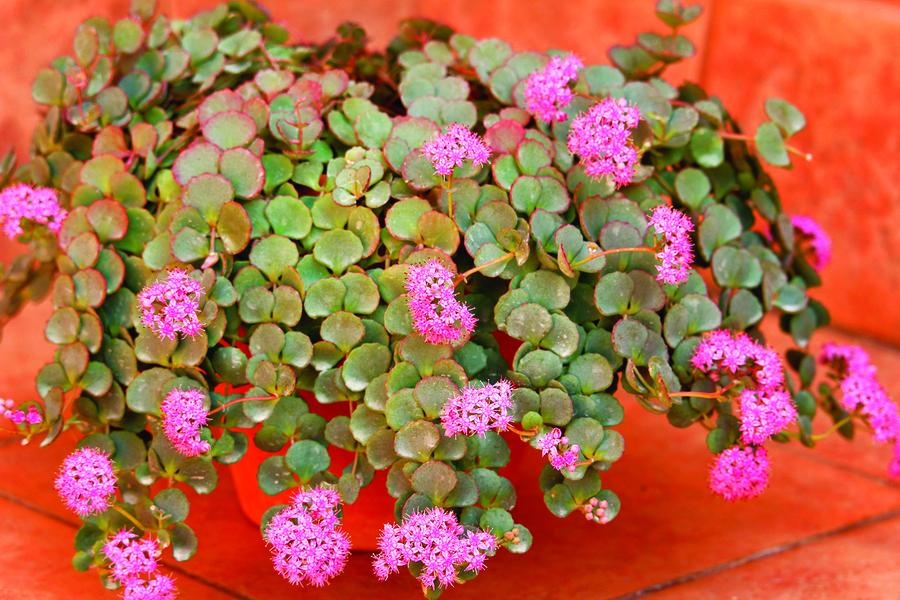 漂亮的銀葉植物 點亮你的花園 (下)