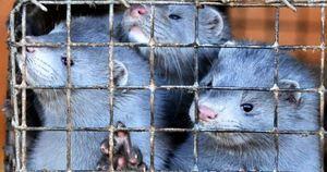 丹麥水貂養殖場現中共病毒 正捕殺境內水貂