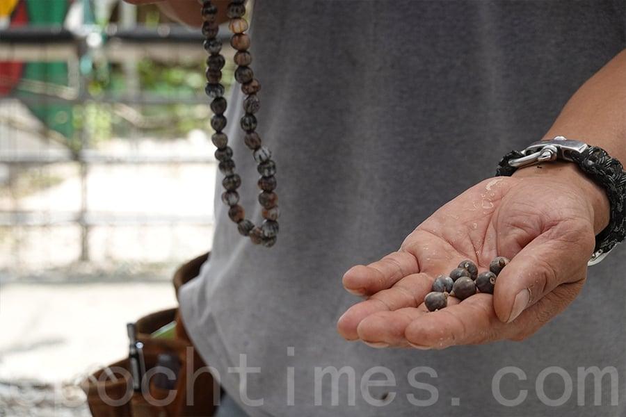 準備草珠子(荒田裏常見的一種野草的果實,外型像粟米,有繁複的紋路)。(曾蓮/大紀元)