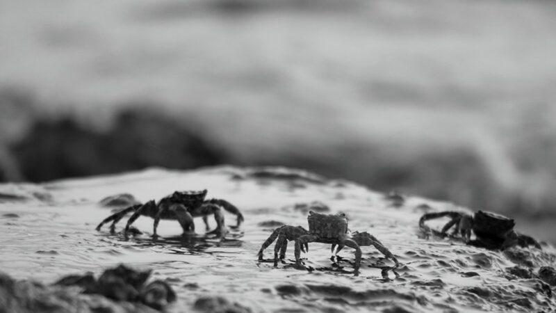 10月17日,江蘇常熟市接近長江入海口處出現驚人異象:成千上萬的螃蟹沿著岸邊爬到岸上。按照江蘇民間的說法,「螃蟹集體上岸」是戰事將起的不祥之兆。示意圖(pixabay)