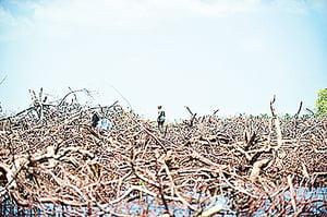 氣候變遷 澳紅樹林枯死