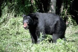 垂釣時遭黑熊攻擊 日老翁揮拳痛擊熊眼